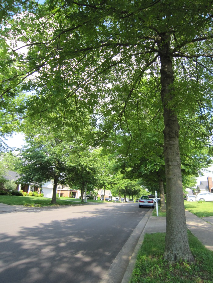 Pin Oak Street Tree