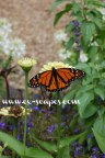 monarch-butterfly-zinnia