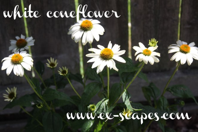 garden-white-coneflower